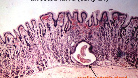 Ostertagia larva - parasites
